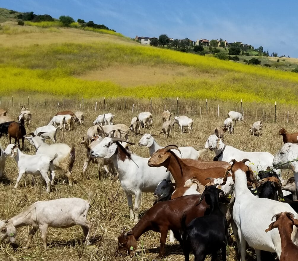 Goats grazing weeds. Hillside filled with invasive mustard weed.